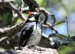Acorn woodpecker, Carr Canyon, Sierra Vista, AZ