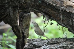 House wren, Ramsey Canyon, Sierra Vista, AZ