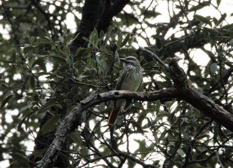 Sulphur bellied flycatcher, Ramsey Canyon, Sierra Vista, AZ