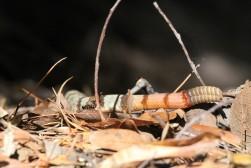 Western Rattlesnake rattle