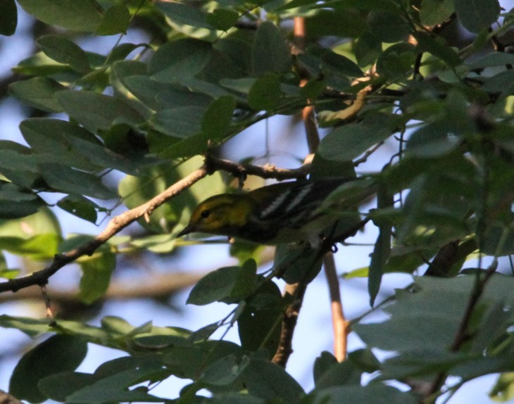 black-throated-green-cropped