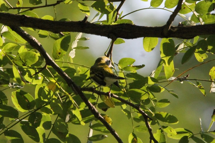 chestnut-sided-1-cropped