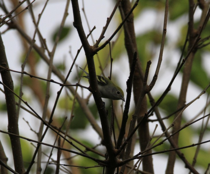 chestnut-sided-cropped