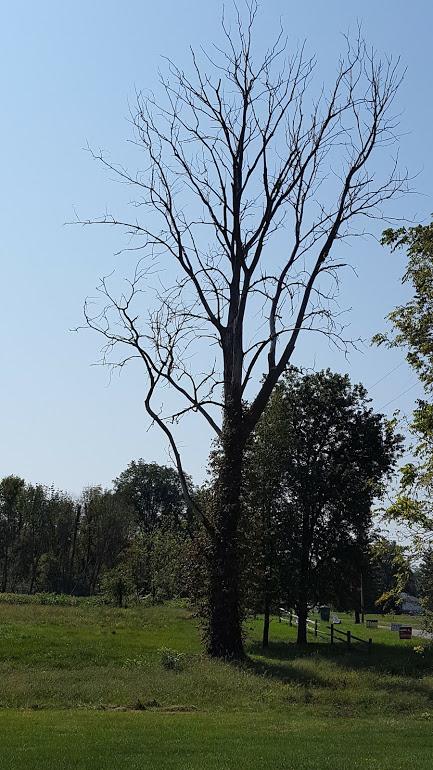 dead-ash-tree