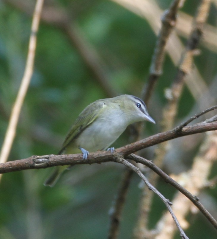 vireo-cropped