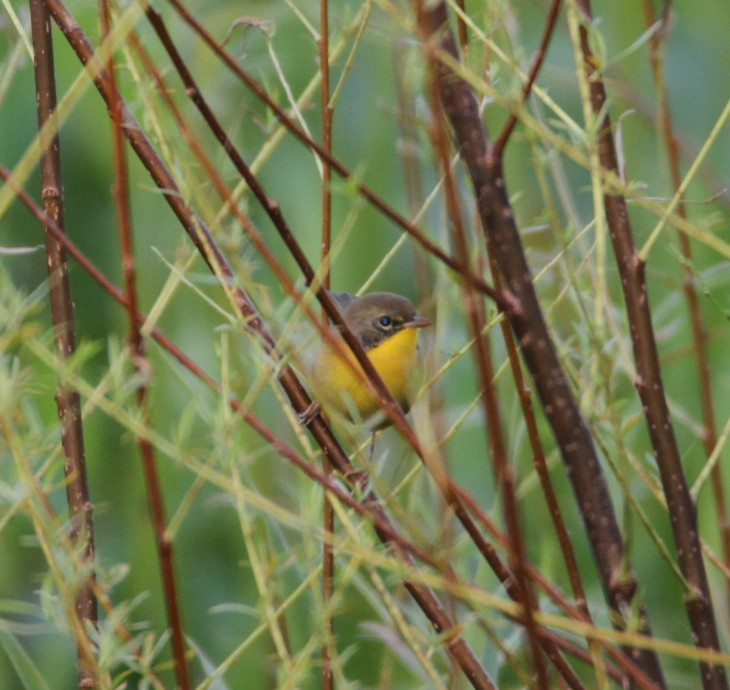 yellowthroat-female-at-magee-cropped