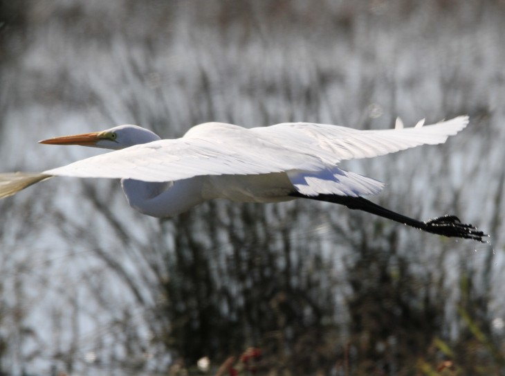 Great egret gliding