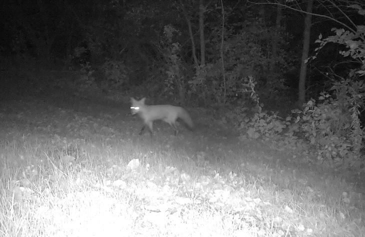 game-cam-fox