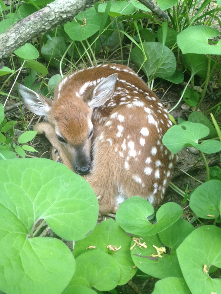 Fawn with spots