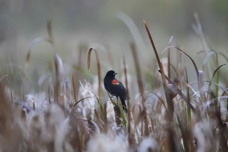 Redwing blackbird on cattail
