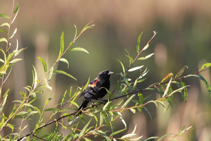 Redwing blackbird on willow