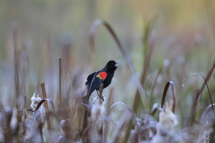 Redwing blackbird singing