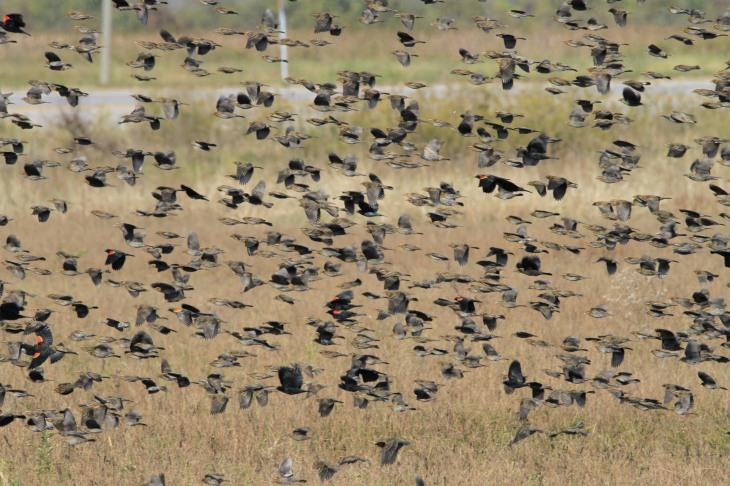 Redwing blackbirds flocking in fall