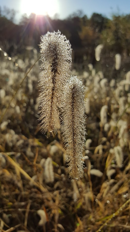 Foxtail covered with dew