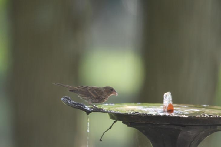 Finch drinking from bird bath