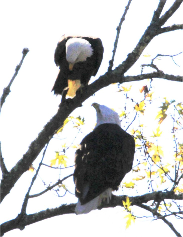 Two bald eagles