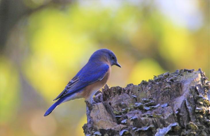 Eastern bluebird posing