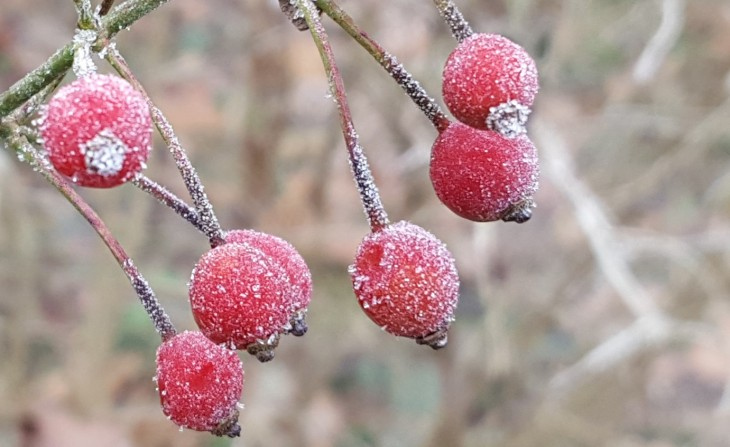 Frost on rose hips