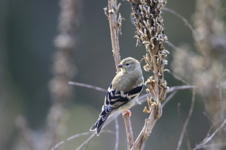 Goldfinch on mullein