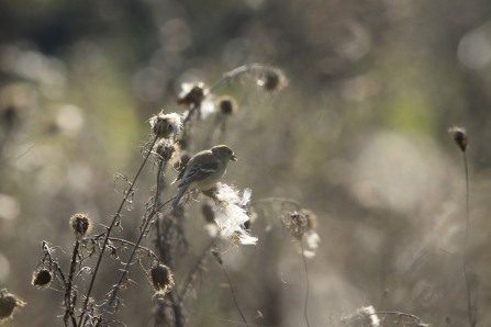 Goldfinch with thistle seed