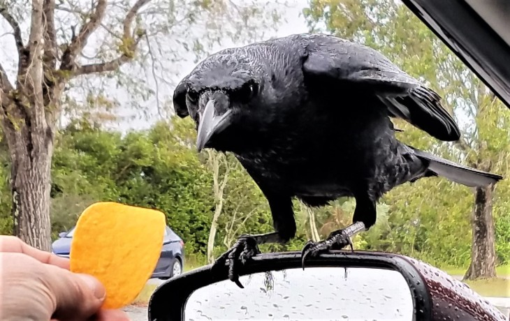 crow-looking-for-a-hand-out