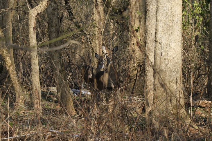 Whitetail deer at Rangeline Nature Preserve