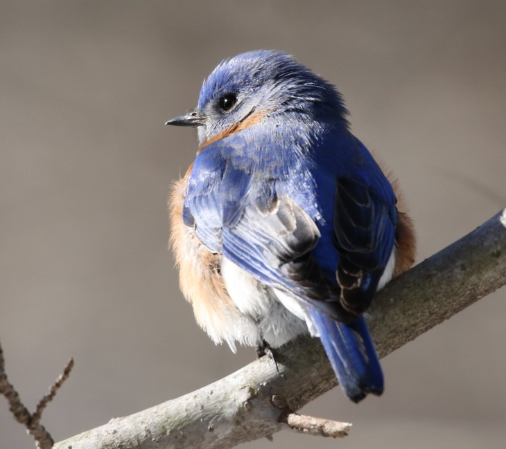 Eastern Bluebird - Muscatatuck NWR