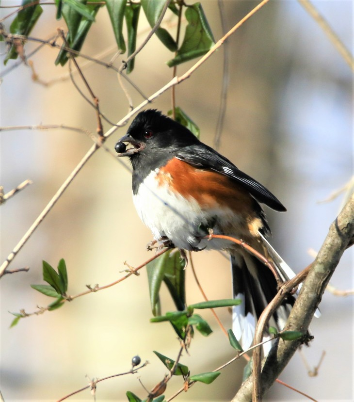 Eastern Towhee with a mouthful - Muscatatuck NWR