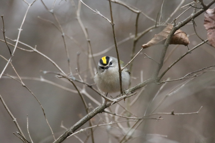 golden-crowned-kinglet-wwm