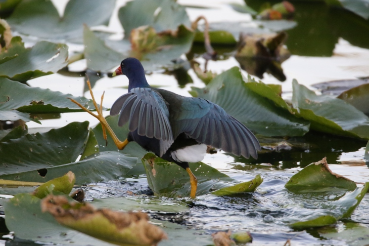 Purple Gallinule in Everglades Nationbal Park