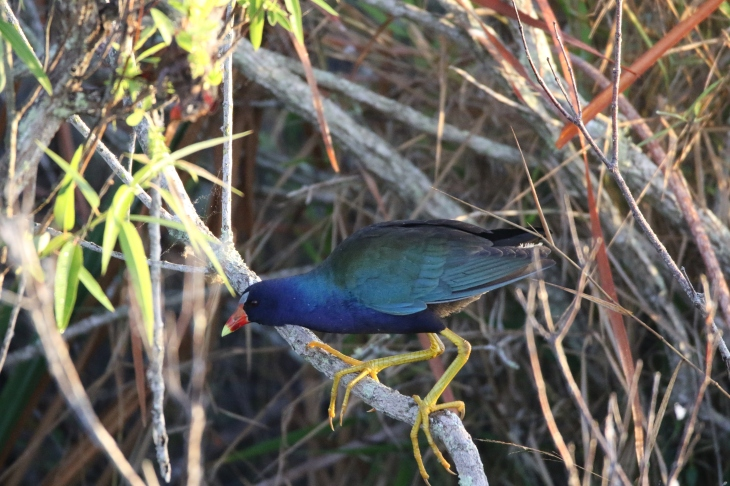 Purple Gallinule in Everlades National Park
