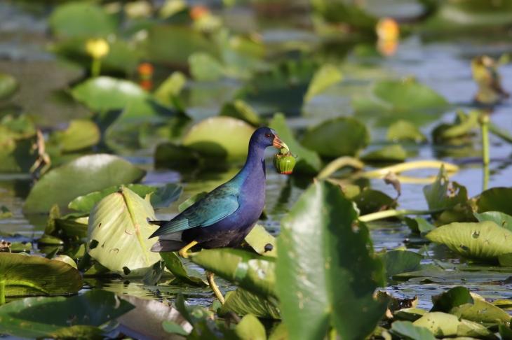 Purple Gallinule in Everglades National Park