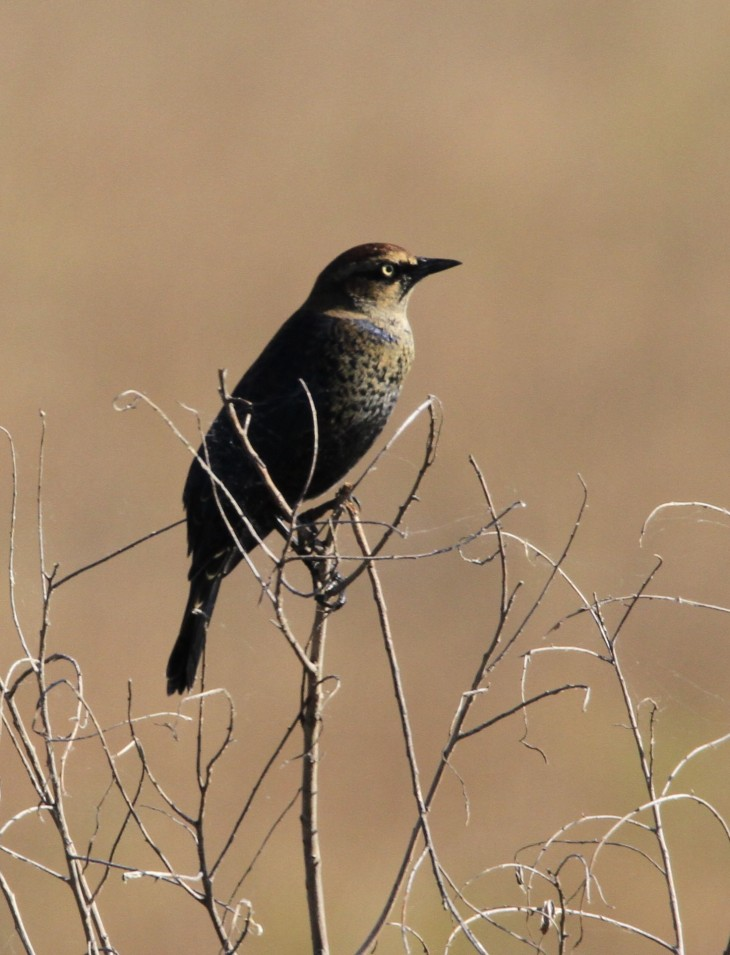 Rusty Blackbird at Goose Pond, IN