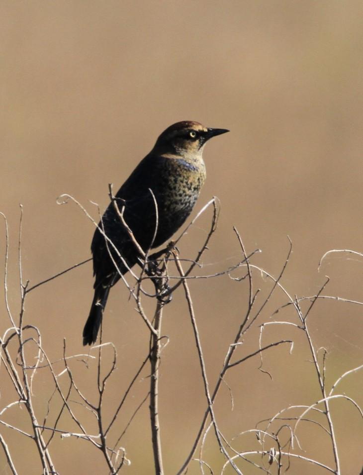 Rusty Blackbird at Goose Pond, IN