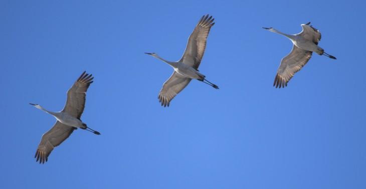 Sandhill cranes in flight - Muscatatuck NWR