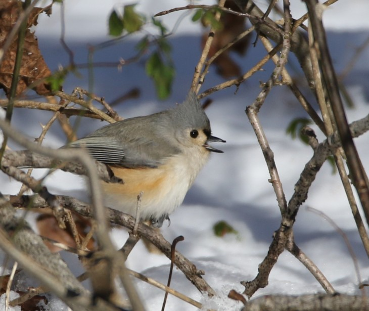 tufted-titmouse-at-muscatatuck-national-wildlife-refuge