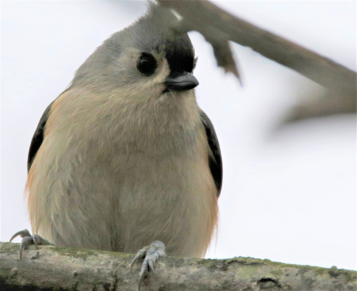 Tufted titmouse at Mounds SRA Glidewell Trail