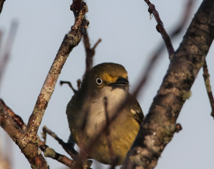 White-Eyed Vireo, Anhinga Trail, Everglades National Park
