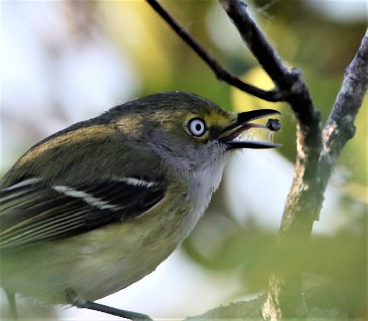 White-Eyed Vireo; Anhinga Trail, Everglades National Park