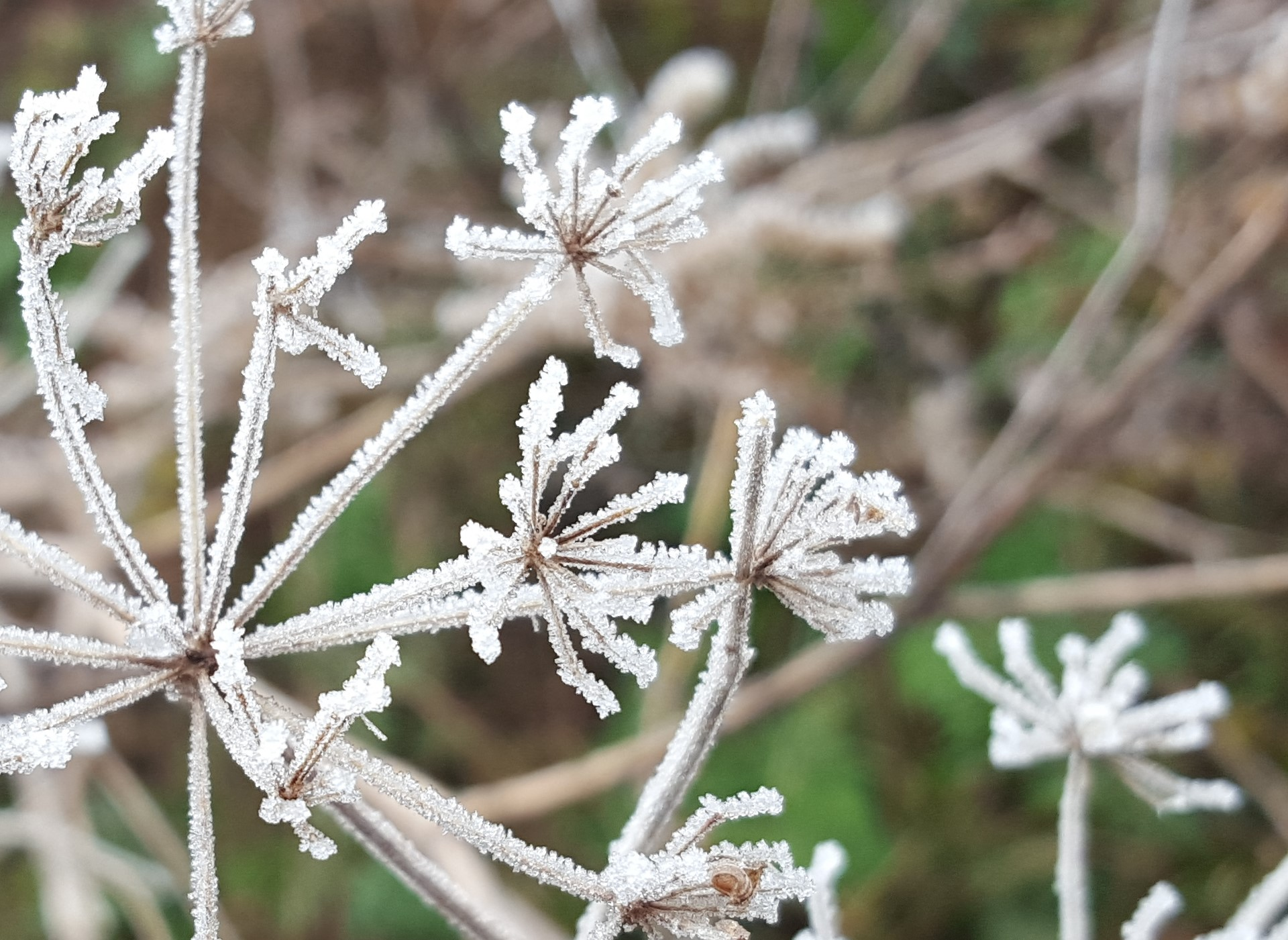 Frost covered umbels