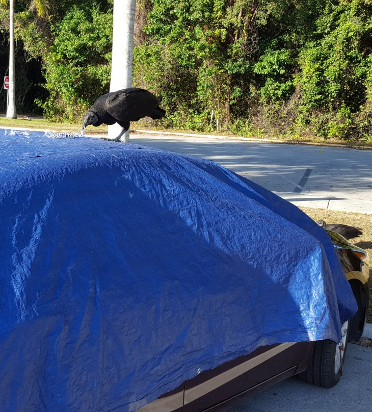 black-vulture-on-car-at-anhinga-trail