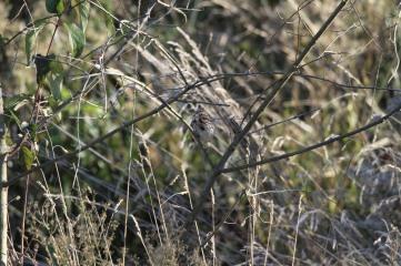 camo-sparrow1