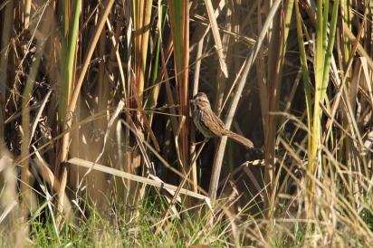camo-sparrow2