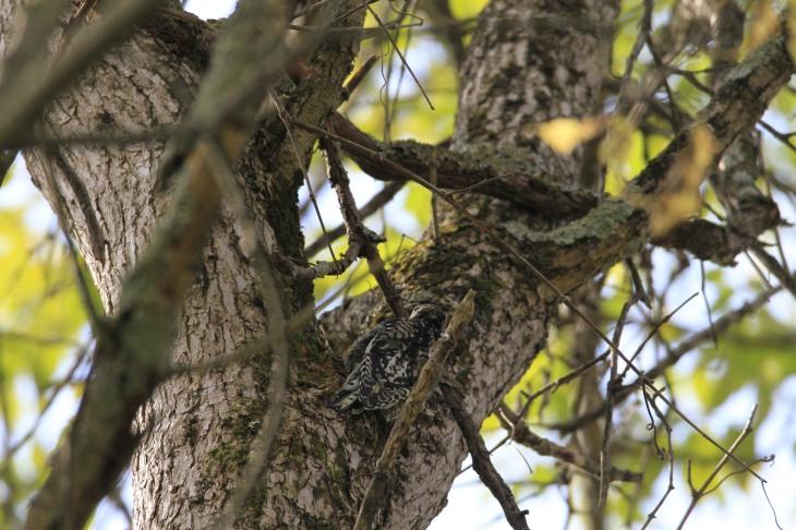 camo-woodpecker