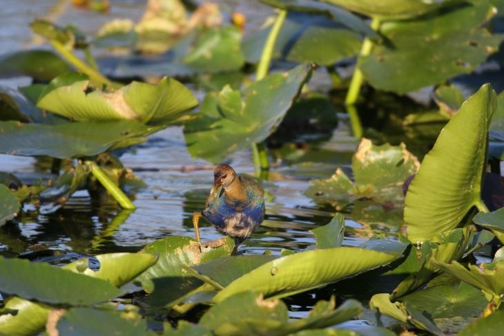 Immature Purple Gallinule; Everglades National Park