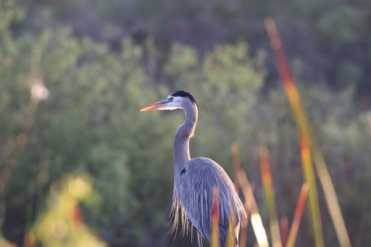 Great Blue Heron; Everglades National Park