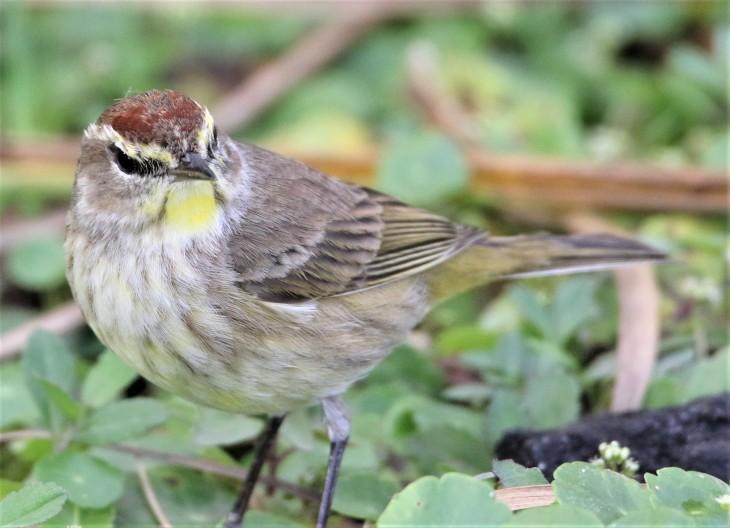 Palm Warbler- Anhinga Trail Everglades