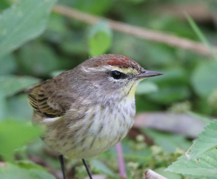 Palm Warbler - Anhinga Trail