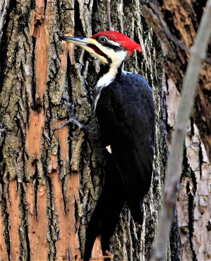 Pileated Woodpecker at Clifty Falls State Park
