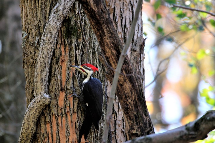 Pileated woodpecker on ash tree